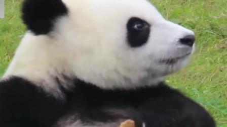 熊猫:别点开,不然你会被这个小家伙萌化的!