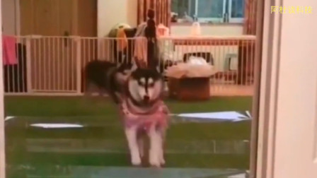 这两只可爱的狗狗,一只送去学体育,一只送去读书吧,别耽误了