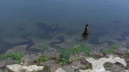 警察帮助鸭妈妈救出掉进下水道的小鸭子