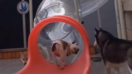 实力宠狗!主人搭滑梯给狗玩 3只狗狗玩得不亦乐乎