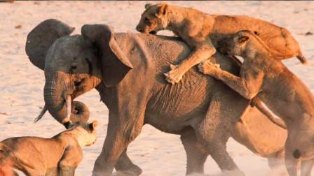 """14头狮子""""群殴""""一头大象,大象一发火,实力碾压狮群!"""