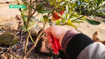 网上买的嫁接金桔树,砧木上长出的枝条要控制,不然会影响结果
