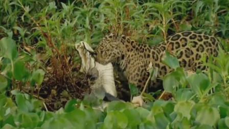 猎豹突袭鳄鱼将鳄鱼变成自己的午餐