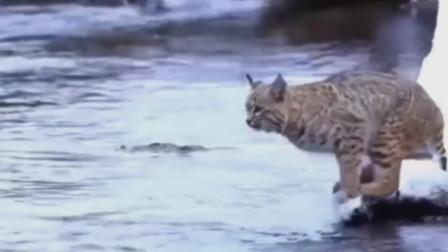 野猫的计算能力真强估算出自己能跳跃的距离,它可以跳跃超越体长10倍的距离