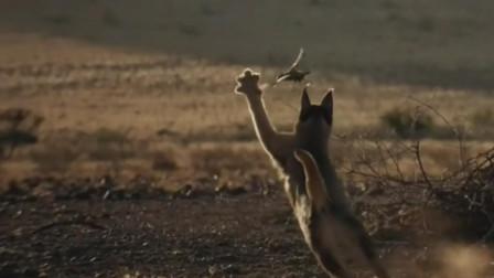 狞猫一掌将小鸟拍落在地,以小鸟为主食