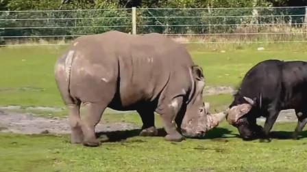 白犀牛打败好斗的公牛