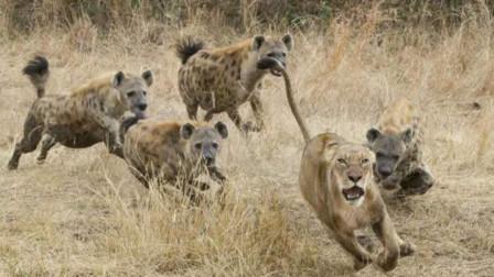 母狮子被鬣狗欺负,食物被抢了不说,还被逼到树上躲避!