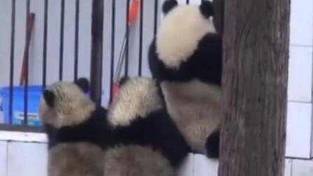 三只熊猫脏兮兮地站在门口,奶爸一脸嫌弃,镜头记录搞笑画面