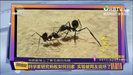 科学家好奇蚂蚁如何回家?于是蚂蚁被玩坏了,蚂蚁:我太难了