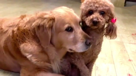 女主让金毛给泰迪撒个娇,金毛:老弟,你感动吗?泰迪:我不敢动