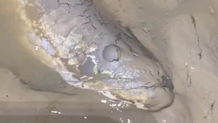 武汉鳝哥深夜抽水抓鱼,结果收获了一条野生大黑鱼,至少有5斤重了!