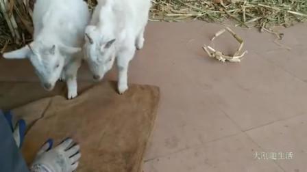 这俩羊真馋,草都不吃,就爱吃饼干