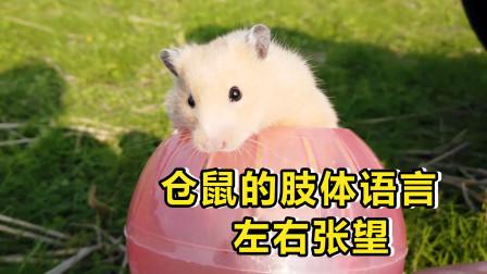 宠物日常:仓鼠的肢体语言左右张望代表什么意思?