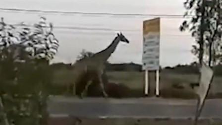 """泰国两只长颈鹿运送途中""""越狱"""" 马路上撒欢"""