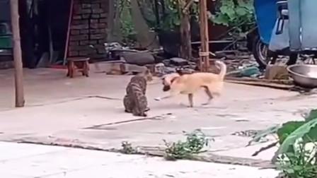 狗子和猫子在院里打架,看过招就知道这条狗子不简单,厉害!
