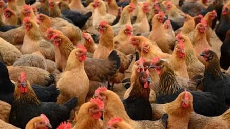 发病4500只!湖南邵阳发生H5N1亚型高致病性禽流感疫情