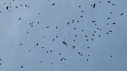 武汉农村出现上万只乌鸦在空中盘旋,有点奇怪