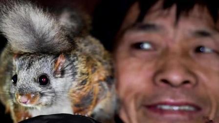 陕西:5.5万多只年收入2700多万 飞鼠托起乡亲致富梦