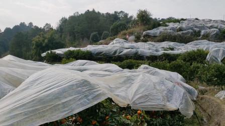 在家待得快发霉,来到果园透透气,这里漫山遍野都是砂糖橘