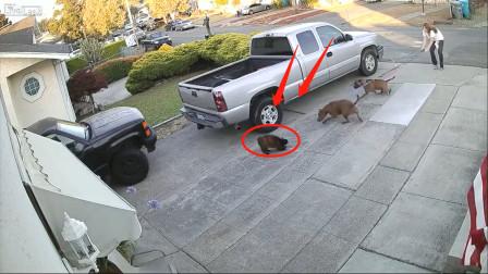 猫咪正在熟睡2只比特犬冲上去就撕咬主人拉都拉不住