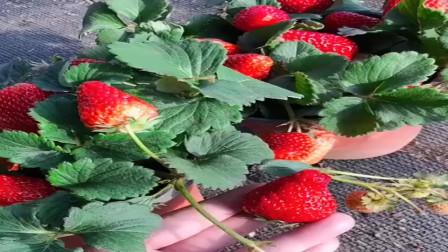 家庭盆栽种草莓,喜欢的抓紧收藏吧