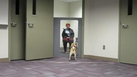 狗狗到底有多善解人意?看完实验结果才明白,错怪了哈巴狗智商!