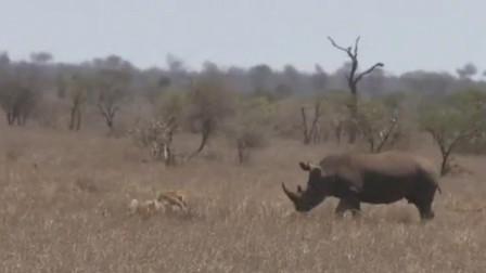 犀牛驱赶两头雄狮,仿佛犀牛才是草原之王