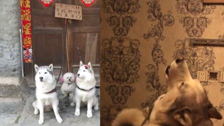 狗狗想出门溜达,主人用一个办法让狗子屈服,网友:厉害了!