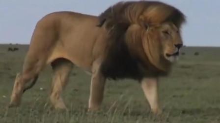 雄狮飘逸的鬃毛王者风范