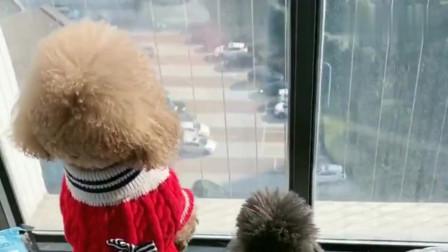 泰迪崽胖子和灰崽为了安全,好多天没遛遛了,渴望的样子好悲伤