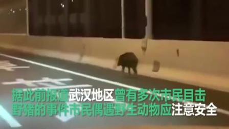 武汉市民家中隔离,街道空荡荡,野猪奔上二环放飞自我不知道它去哪里!