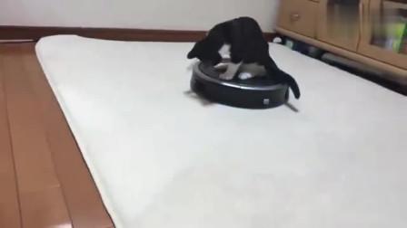 小猫咪从小就想驾驭这机器人经过几年的练习成功坐上这宝座