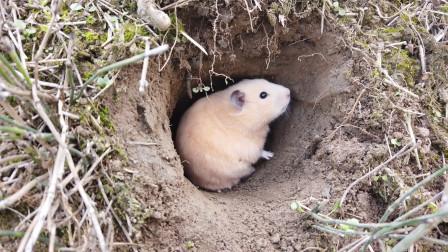 沙雕主人在土里挖个洞,让小仓鼠躲进洞里吃东西,小仓鼠很喜欢