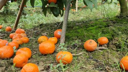那么多砂糖橘坏在地里,果农一年辛苦又要白费了,真可惜!