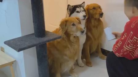 三只狗狗比赛算数抢答,金毛嗨皮表现出众,结局搞笑了