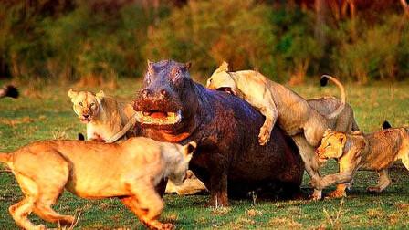 狮群捕杀一只河马河马向丛林走去狮子为啥却突然害怕逃跑了