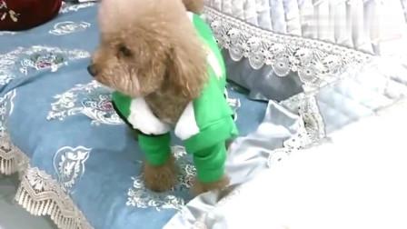泰迪崽胖子这是在家憋抑郁了,听到门外有动静就大吵大闹,太犟了