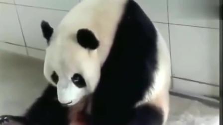 萌宠:奶妈问正在卖萌的大熊猫要不要吃东西,它点了点头