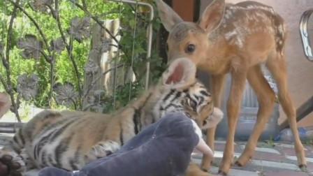 老虎小的时候可以和梅花鹿和平相处