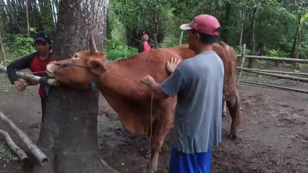农村两少妇,牵着公牛出去相亲,还要和强壮公牛合影,母牛也很喜欢公牛