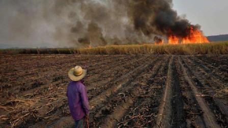 国外在甘蔗收割之前,为何都要先放一把大火?原因非常简单