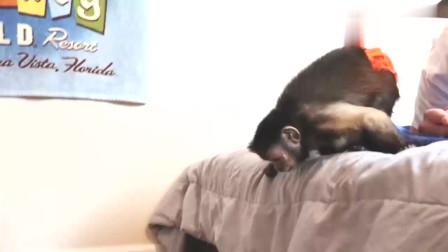 主人用玩具蜘蛛吓小猴子,小猴子一点反应都没有