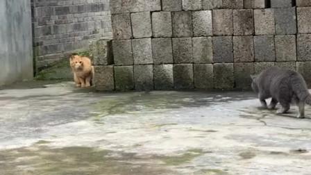 当蓝猫和中华田园猫相遇会发生什么