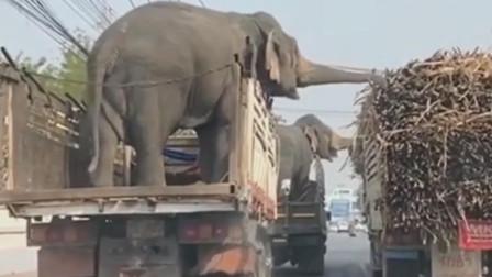 等红灯也不闲着,大象用长鼻子抓取旁边车上的甘蔗吃