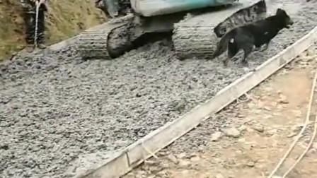狗子不懂事,刚铺好的水泥路就去上面踩,大爷你下手也太重了吧?