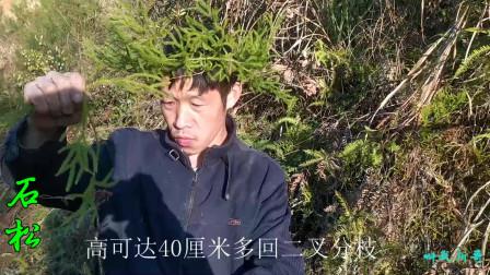 石松又叫伸筋草、过山龙、宽筋藤、玉柏等,是一种主要分布在我国浙江、湖北、江苏、湖南、四川等地的名贵中药材