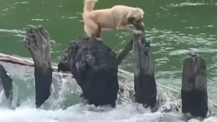 狗狗过河,每跳一步心理都是有底的,最后那一步犹豫了好久