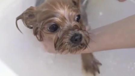 狗狗第一次做水疗,刚开始一脸的担心紧张,按一会儿就开始放松了