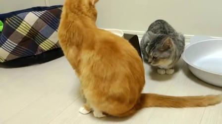 狸花猫太傻了,橘猫用一条尾巴就把它搞懵了