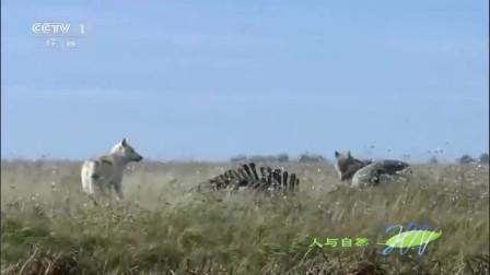 人与自然:狼群游泳过河觅食,母狼却在中途突然返回,什么情况